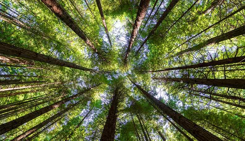 Image of a forest, looking from below, up to the tops of the trees