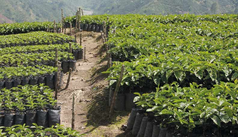 Image of coffee plantations